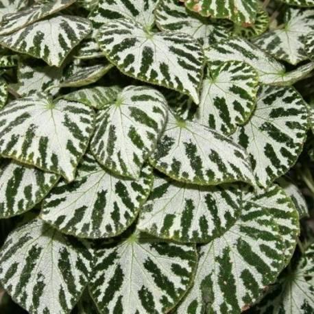 Begonia 'Silver Jewel'