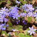 Hepatica nobilis (sin. Anemone hepatica)