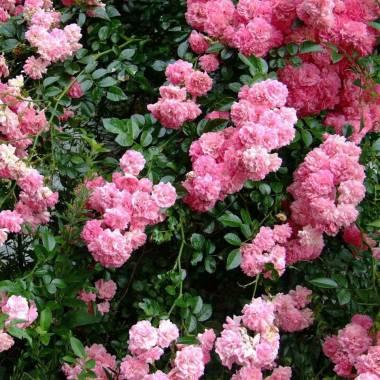 Rosa 'Dorothy Perkins'