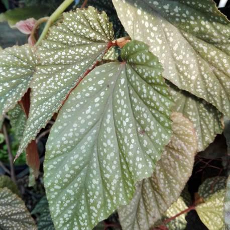 Begonia x argenteo-guttata