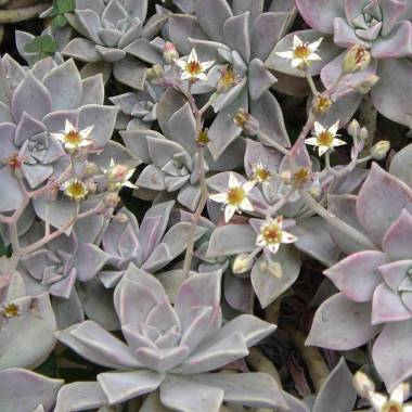 Graptopetalum paraguayense (Graptosedum 'Ghosty')