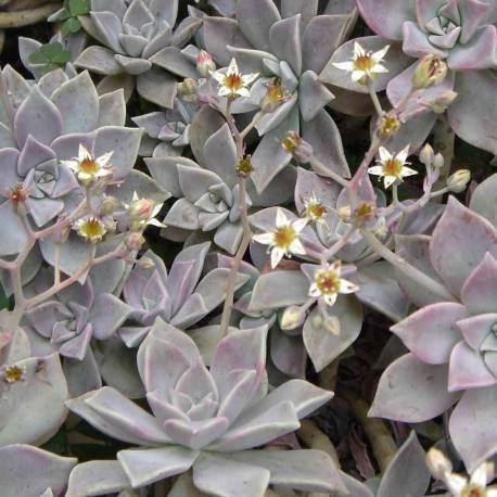 Graptopetalum paraguayense (Graptosedum 'Ghosty')