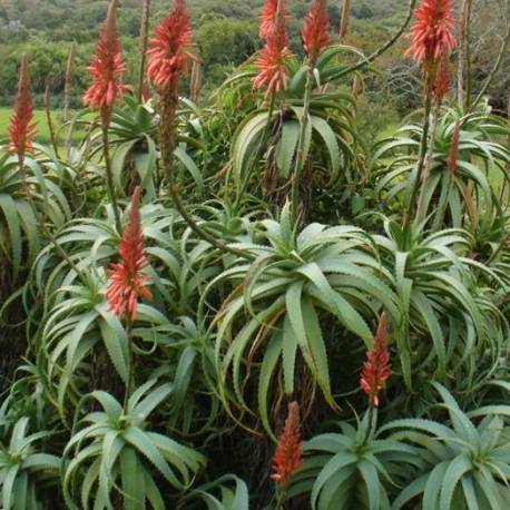 aloe arborescens. Black Bedroom Furniture Sets. Home Design Ideas