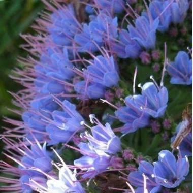 Echium candicans (sin. E. fastuosum)