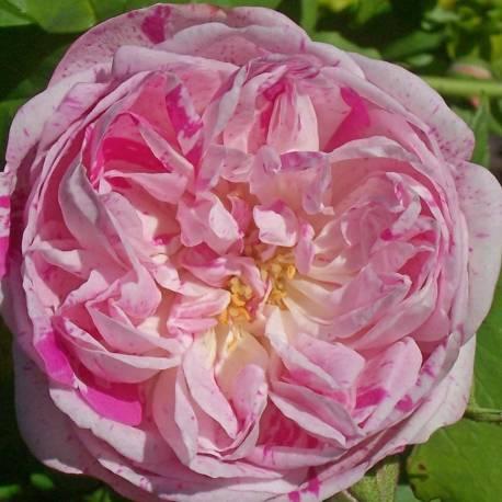 Rosa 'Honorine de Brabant'