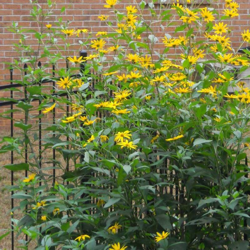 Helianthus tuberosus topinambur for Topinambur pianta