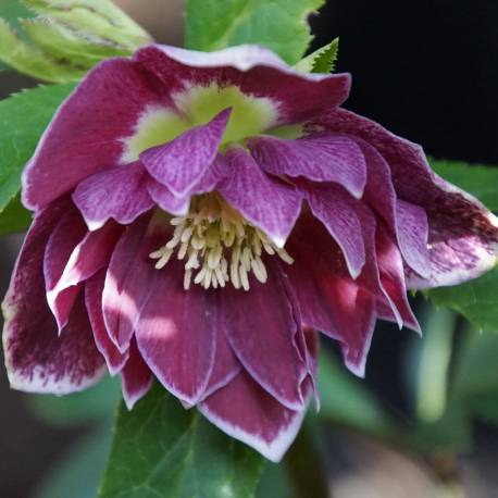 Helleborus 'Double Aubergine With White Hedge'