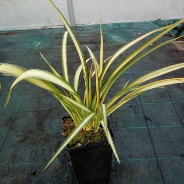 Phormium cookianum subsp. hookeri 'Cream Delight'