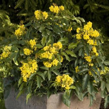 Mahonia japonica 'Media Charity'