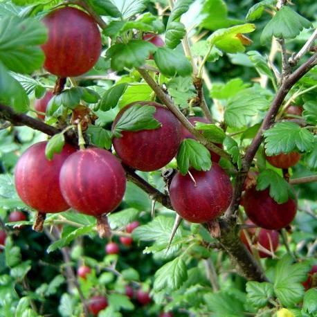 Ribes grossularia (Uva spina, rossa)