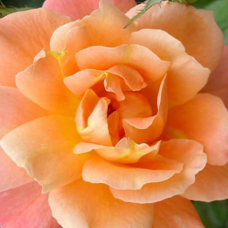 Rosa 'Westerland'