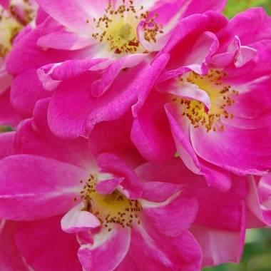 Rosa 'William Baffin'