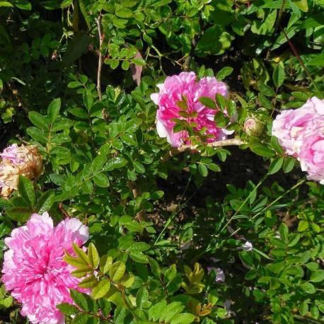 "Rosa roxburghii ""Plena"""