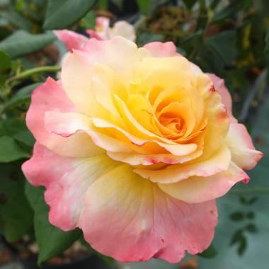 Rosa 'Aquarell'