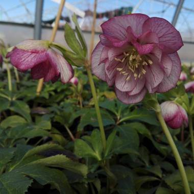 Helleborus 'Double White Spotted'