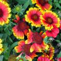 "Gaillardia aristata ""Arizona Sun"""