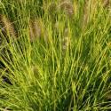 "Pennisetum alopecuroides 'Hameln Gold"""