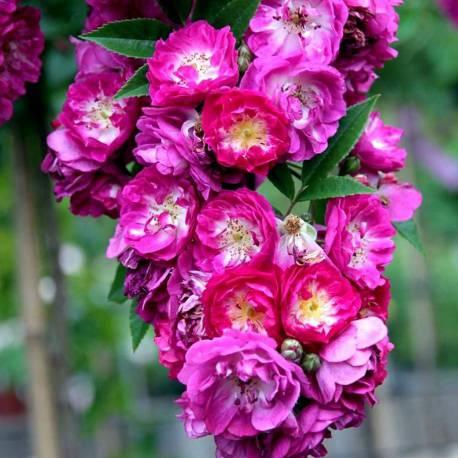 Rosa 'Perennial Blue'