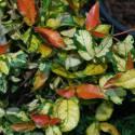 Trachelospermum jasminoides 'Trachelospermum asiaticum 'Ogon Nishiki' sin. rhyncospermum