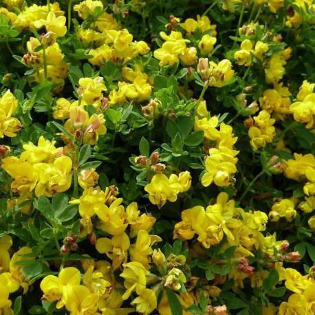 Lotus corniculatus 'Plenus'