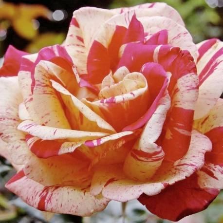 Rosa 'Broceliande'