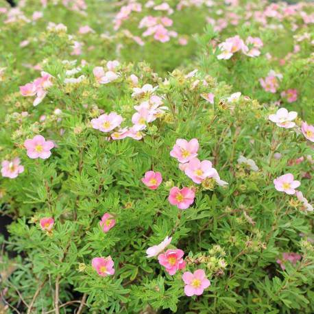 Potentilla fruticosa 'Lovely Pink'