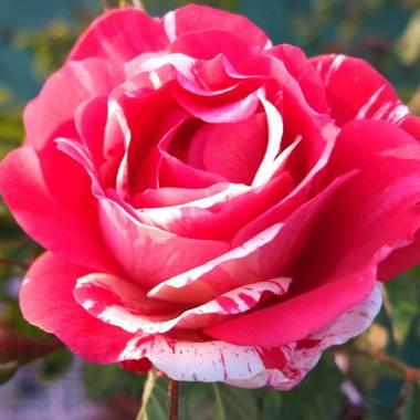 Rosa 'Camaiuex'