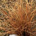 Carex buchananii 'Red Rooster'