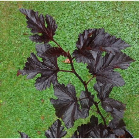 Physocarpus opulifolius 'Midnight (sin. 'Jonight')
