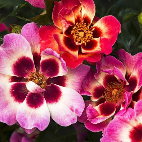 Rosa 'Blushing Babylon Eyes'