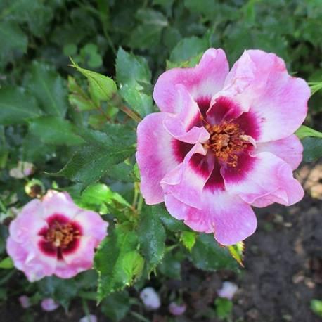 Rosa 'Trendy Babylon Eyes'