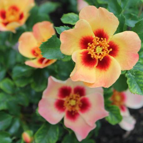 Rosa 'Coral Babylon Eyes'