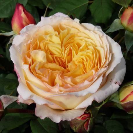 Rosa 'Peach Parfum'