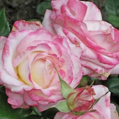 Rosa 'Laminuette'
