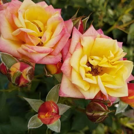 Rosa 'Little Sunset' ('KORlutmag')