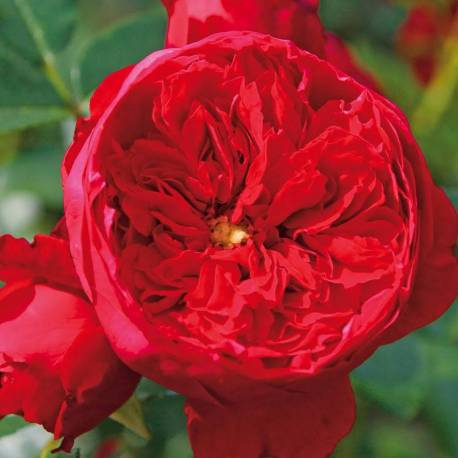 Rosa 'Florentina' ('KORtrameilo')