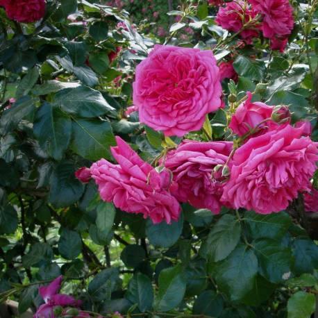 """Rosa """"Laguna"""" (""""KORadigel"""")"""