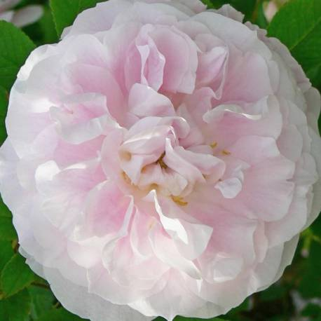 Rosa 'Martin Frobisher'