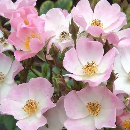 "Rosa ""Ballerina"""