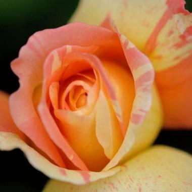 Rosa 'Marvelle'