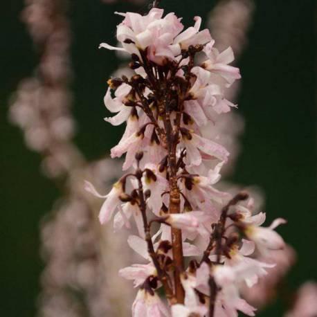 """Abeliophyllum distichum """"Roseum"""""""
