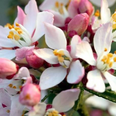 Choisya x ternata 'Apple Blossom'
