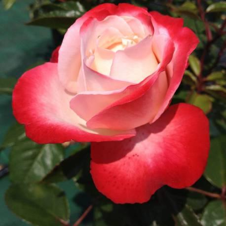 Image result for Rosa Nostalgie