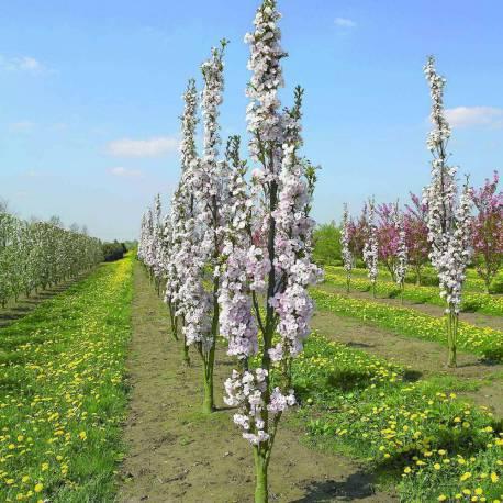 """Prunus serrulata """"Amanogawa"""""""
