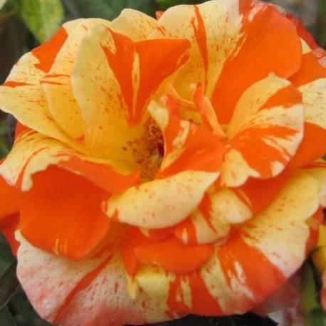 Rosa 'Oranges and Lemons'