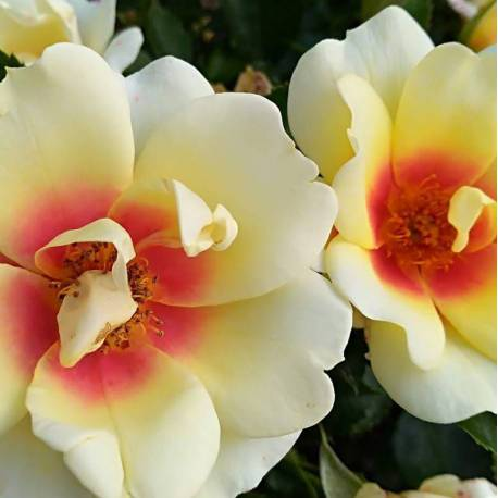 Rosa 'Glorious Babylon Eyes'