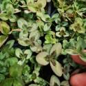 Trifolium repens 'Spring'