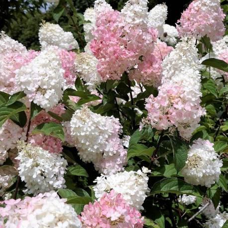 """Hydrangea paniculata """"Vanille Fraise"""""""