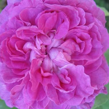 Rosa 'Reine De Violettes'