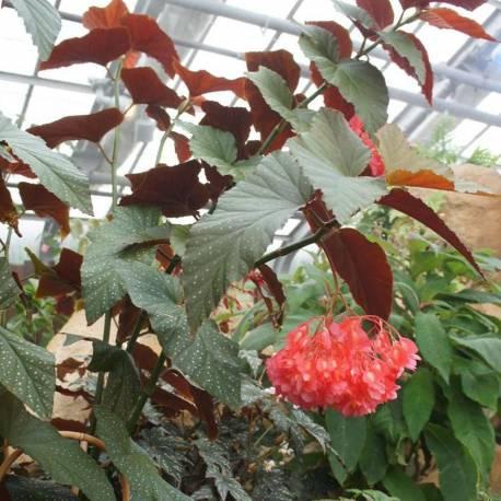 "Begonia ""Lucerna"""